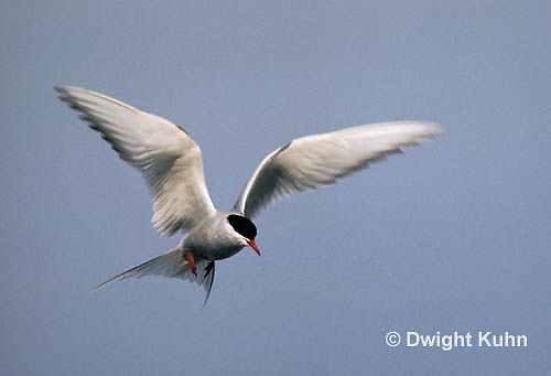 MC59-025z  Arctic Tern - flying above island - Machias Seal Island, Bay of Fundy - Sterna paradisaea
