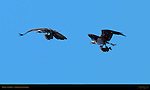Osprey with Prey, Sanibel Island, Florida