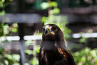 A Golden eagle, photographed through the mesh of its enclosure at the Sulfur Creek Nature Center where injured wildlife are treated and, when possible, returned to the wild.