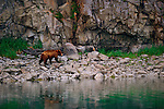 A young male brown bear wanders the rocks above the tide line on the Alaskan Peninsula.