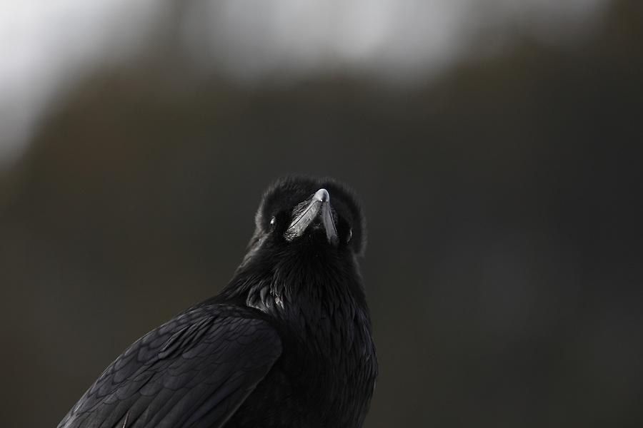 A close-up of a single crow is seen perched on a sign in Banff National Park, Alberta, Canada.