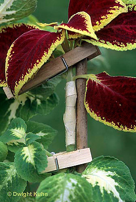 HS69-008d  Asexual Reproduction - Coleus grafting experiment (series HS69-008d,016a,020a