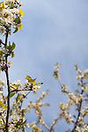 A single honeybee is captured in-flight while approaching a white cherry bloom.