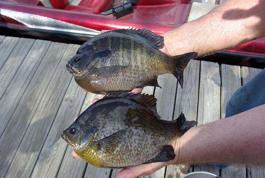 Trophy bluegills from Richmond Mill Lake near Laurel Hill, North Carolina; male on top, female at bottom