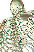 An inferior posterolateral view (right side) of the lymph supply of the upper body. Royalty Free