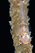 A Goby (Bryaninops yongei) on a Wire Coral (Cirrhipathes anguina), Yap, Micronesia.