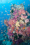 Rainbow Reef, Somosomo Strait, Fiji; an aggregation of Scalefin Anthias fish swimming over a coral bommie covered in yellow, orange, pink and purple soft corals