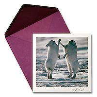 Boxing Arctic Hares<br />