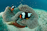 Fierce Saddleback Anemonefish (Amphirion polymnus) protect their freshly laid eggs on a piece of drift wood beside the anemone.