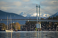Commercial fishing boat Pacific Lady prepares seine net at the dock in the Sitka boat harbor, Sitka, Baranof Island, Southeast Alaska panhandle fishing troller in Sitka Harbor, O'connell bridge, Sitka, Alaska