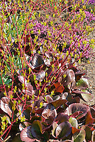 Bergenia 'Bressingham Ruby' foliage with Cornus alba 'Sibirica' in march