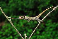 .Short-horned Chameleon (Calumma brevicornis), adult capturing an insect with its long tongue, Andasibe-Mantadia National Park, Madagascar