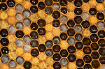 Honey Bee, Apis mellifera, inside hive, showing larvae and eggs in brood comb, and sealed cells with pupae inside, social, network, .United Kingdom....