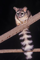 675909002 wild adult ringtail bassaricscus astutus sitting on a tree branch at night in yosemite national park california