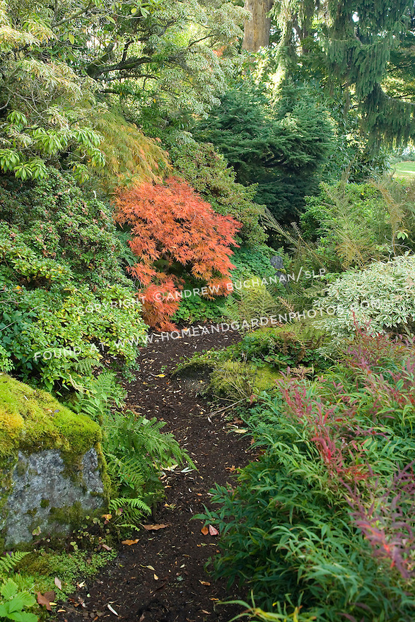 a meandering dirt path through a woodland garden setting is thick with moss, rhododendrons, and bright red Japanese Maple leaves in this autumn scene