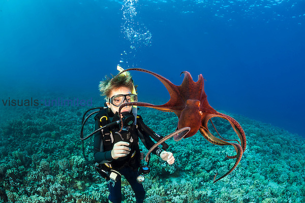 11 year old boy scuba diver observing Day Octopus (Octopus cyanea), Maui, Hawaii, USA. MR