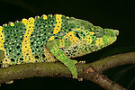 Panther Chameleon, Furcifer pardalis, on branch, yellow green colours, captive, pet.Madagascar....