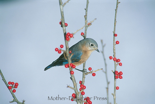 Female bluebird, Sialia sialis perches on Branches on American Holly bush with red berries, Misouri USA
