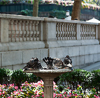 A flock of pigeons perform their ablutions in a bird bath in Bryant Park in New York on Thursday, September 27, 2012. (© Richard B. Levine)
