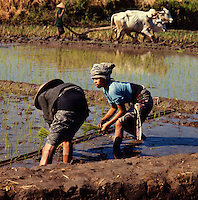 Indonesia. Java. Women planting out rice seedlings in flooded paddy.