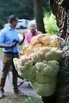 Foto: VidiPhoto<br /> <br /> WOLFHEZE - Boomadviseur Simen Brunia van Bomenwacht Nederland buigt zich donderdag over een 'natuurwonder' aan een dode beuk in de bossen tussen Wolfheze en Oosterbeek. Daar groeit een enorme en oranje uitgeslagen pruikzwam, volgens Brunia de mooiste en een van de grootste van Nederland. Pruikzwammen zijn sowieso zeldzaam, maar van dit formaat, in deze kleur en met de huidige zomerse temperaturen mag er volgens Brunia van een natuurwonder worden gesproken. Daarnaast is het vrij uniek dat de pruikzwam zo goed te zien is. Vaak groeien ze een stuk hoger. Deze zwam zit bovendien al meer dan tien jaar op dezelfde plek en groeide dit jaar in snel tempo tot het huidige formaat. De groeispurt is wellicht het gevolg van de lange regenperiode tot half augustus. Brunia: &quot;Een zwam bepaalt zelf wat zijn beste groeimoment is, maar om in zo'n korte tijd zo hard te groeien is toch wel erg bijzonder.&quot; De pruikzwam is dit jaar gekozen tot paddenstoel van het jaar 2016.