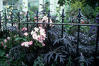 Sambucus nigra 'Black Lace', iron fence, roses