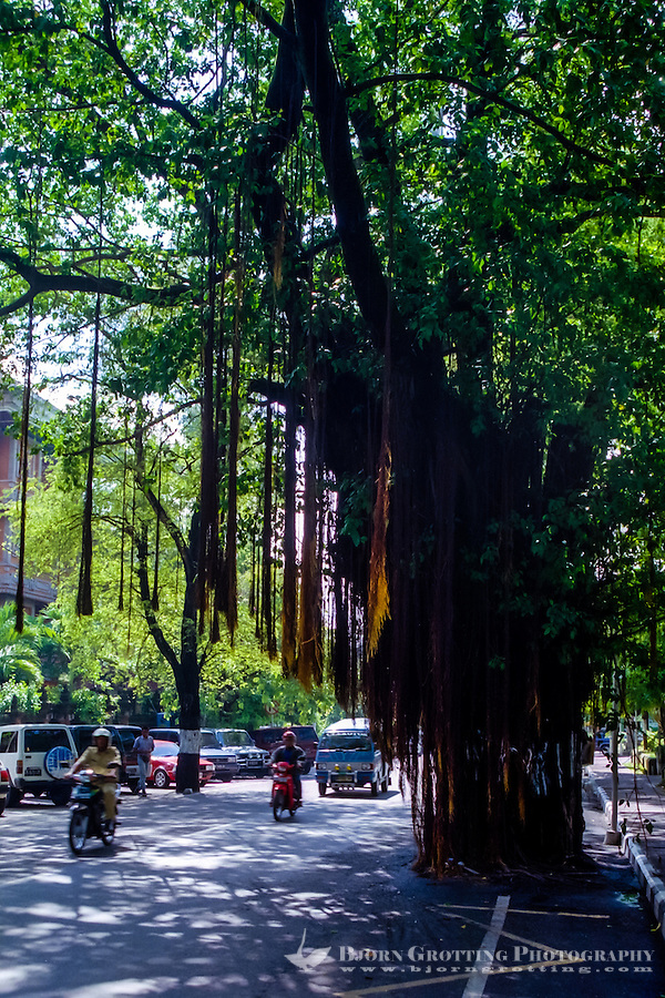Bali, Denpasar. The capital center. A large banyan tree in the middle of the road. To leave the tree alone is good for the tree but maybe not for the traffic.