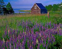 Lupine Along The Shore, Prince Edward Island National Park, Prince Edward Island, Canada   Canadaian Maritimes