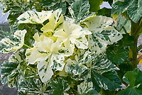 Lavatera arborea 'Variegata&rsquo; variegated foliage leaves, aka Tree Mallow, aka Malva arborea