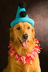 Portrait of a two year old Golden Retriever wearing a hat