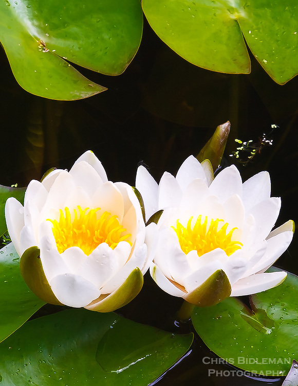 Gift card photo (set of 4) of Two water lilies in pond surround by lilypads fully open