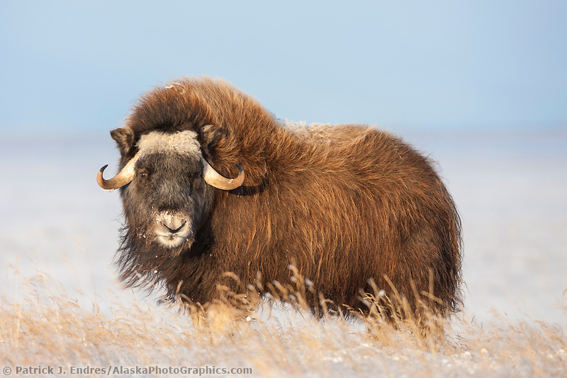 Muskox stands on the snowy tundra of  Alaska's arctic north slope.