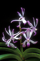 Neostylis Lou Sneary