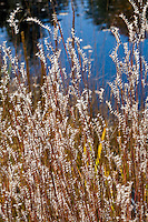 Little Bluestem (Schizachyrium scoparium) silver backlit flowering grass in meadow garden by pond