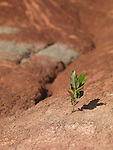Single small green plant growing on dry red soil