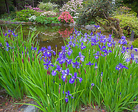 Shore Acres State Park, OR: The pond at the Simpson Estate Garden with siberian irises, rhododendrons and azaleas blooming in spring.
