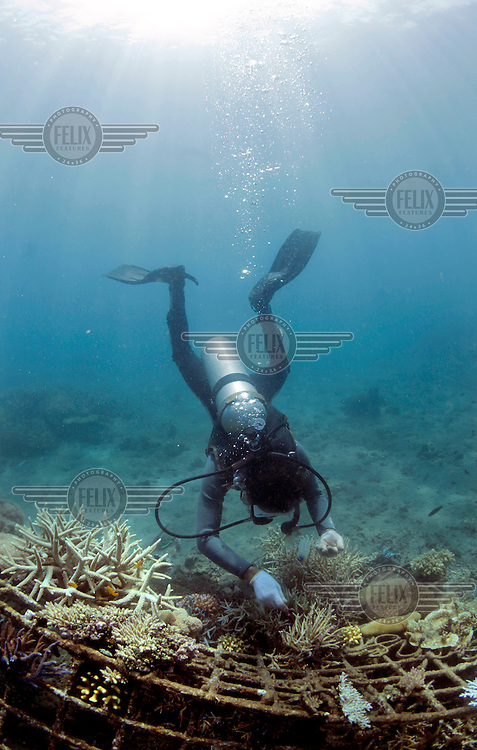 A staff diver removing Drupella snails, which can quickly kill coral colonies if they are not removed structure, part of the Biorock reef project in Pemuteran.  ..A low voltage direct current is applied on metal structures using an anode. Once the reef structure is in place and minerals begin to coat the surface, the next phase of reef construction begins. Divers transplant coral fragments from other reefs . Immediately, these coral pieces begin to bond to the accreted mineral substrate and start to grow—typically three to five times faster than normal. Soon other marine life starts colonizing the structure as well...Some say the effort is severely limited. While the method may be useful in bringing small areas of damaged coral back to life, it has very limited application in vast areas that need protection.