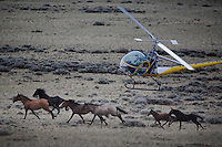 A helicopter herds mustangs toward a trap set to capture them. BLM gathered horses in Divide Basin off of Bar X Road.  They are trying to round up nearly 500 horses because of a lawsuit filed.<br /> Helicopters bring the horses to a jute fence with wings and a Judas horse lures them into the trap.  They are trucked off to a BLM facility 50 miles away to be processed.