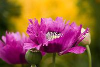 Magenta poppy flower of opium Papaver somniferum in garden.