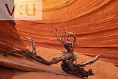 Snag among Slickrock formation, Coyote Buttes area of Paria Canyon, Vermillion Cliffs Wilderness Area, Arizona, USA..