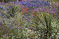 Bluebonnets, Indian Paintbrush, Pink Phlox and yucca in Texas Hill Country