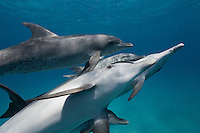 RW5022-D. Atlantic Spotted Dolphins (Stenella frontalis), interacting with each other above sandy bottom. These marine mammals are intelligent and gregarious, and develop strong social bonds with other members of their pod. Bahamas, Atlantic Ocean.<br /> Photo Copyright &copy; Brandon Cole. All rights reserved worldwide.  www.brandoncole.com