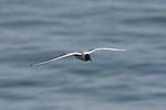 Sabine's gull in flight in Santa Cruz