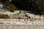 Africa, Namibia, Puros. Springbok of the Puros Conservancy.