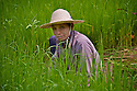 A rice farmer in a paddy field.