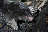 European mole, Talpa Europaea, in a country garden, the Cotswolds, Oxfordshire, UK