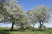 Kultur-Apfel, Apfelbaum, Streuobstwiese, Apfel, Obstplantage, Obstanbau, Obst, während der Blüte, Apfelbaumblüte, Malus domestica, Apple, Pommier commun