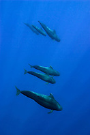 short-finned pilot whales, Globicephala macrorhynchus, off Kona Coast, Big Island, Hawaii, Pacific Ocean