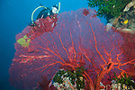 Bligh Waters, Vatu I Ra Passage, Fiji; a scuba diver hovering above a large, red gorgonian sea fan with a blue water backdrop