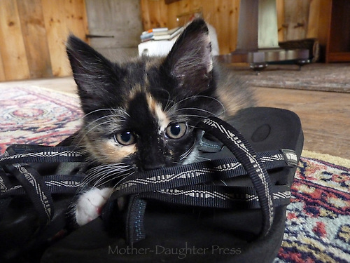 Silly Calico kitten playing on sandals